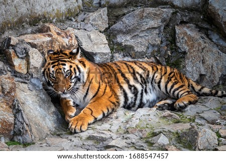 Tiger lying on a stone Royalty-Free Stock Photo #1688547457