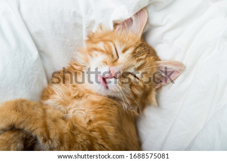 Funny ginger cat sleeping at home. Red kitten covered with blanket. Top view of red cat on sleep time #1688575081