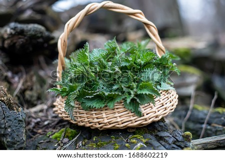 Nettle bush in wicker basket on an old tree with a flag. Collection of first spring young environmentally friendly place nettles for vitamin salad. Medicinal herbs for alternative medicine. #1688602219