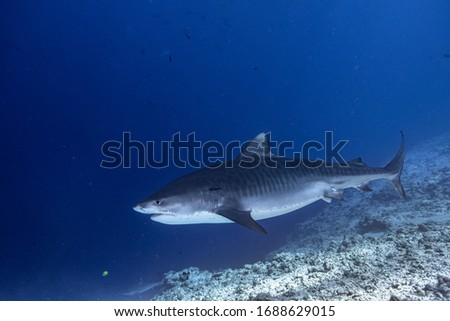 Tiger Shark in South Maldives