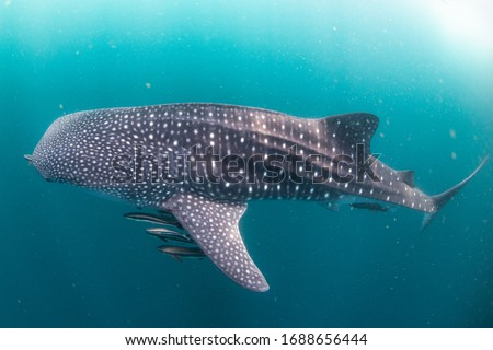 Whale Shark very near looking at you underwater in Similan it does not attack humans