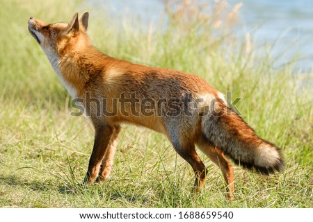 A magnificent wild Red Fox, the fox looks up, water in background.