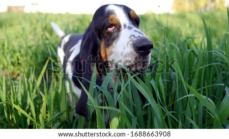 Basset Hound dog stands in a meadow among the tall grass. Dog on a walk, while playing with the owner. Dog's joy, funny dog's face. A beautiful summer day. Outdoor fun with the dog. #1688663908