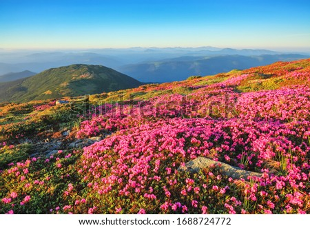 The lawns are covered by pink rhododendron flowers. Beautiful photo of mountain landscape. Concept of nature rebirth. Summer scenery. Blue sky with cloud. Location Carpathian, Ukraine, Europe.