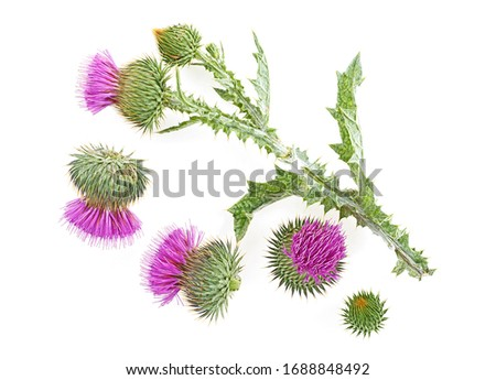 Milk thistle flower isolated on a white background with copy space. Top view. #1688848492
