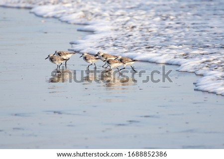 Sanderlings (sandpipers) along the Pacific shoreline of Nicaragua. Royalty-Free Stock Photo #1688852386