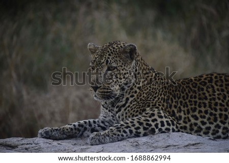 A slightly injured leopard spotted in Kruger National park in South Africa, picture taken in June 2019