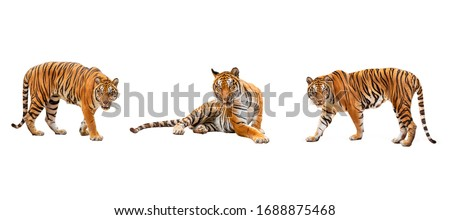 collection, royal tiger (P. t. corbetti) isolated on white background clipping path included. The tiger is staring at its prey. Hunter concept. Royalty-Free Stock Photo #1688875468