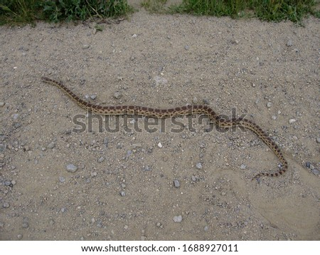 An adult gopher snake lays on a dirt road in California.
