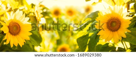 Sunflower blooming in field background