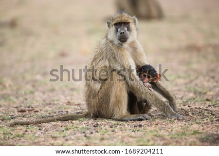 A mother yellow baboon baby sitting a baby baboon in South Luangwa National Park, Zambia