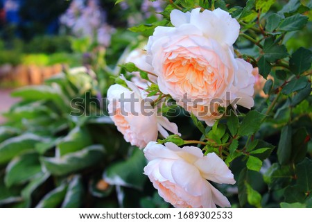 A lot of big white and orange roses with drops of water after rain closeup. Orange roses bushes blooming on the road in garden. Beautiful bouquet of white roses. Care of garden roses bushes #1689302533