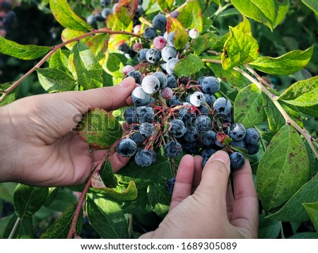 woman hands picking fresh blueberries in early morning #1689305089