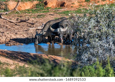 African buffalo photographed in South Africa. Picture made in 2019.