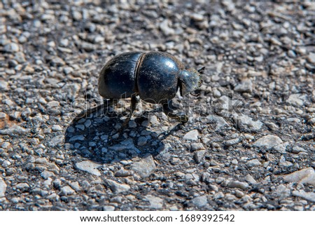 Beetle photographed in South Africa. Picture made in 2019.