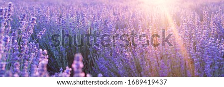 Flowers at sunset rays in the lavender fields in the mountains. Beautiful image of lavender over summer sunset landscape. #1689419437