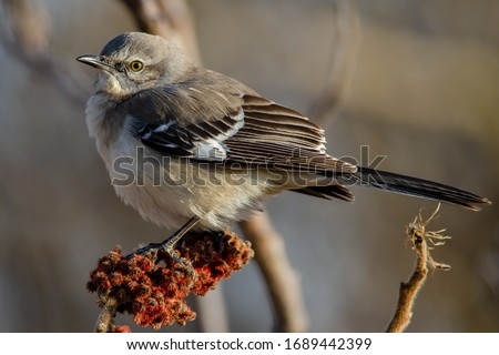 Northern mockingbird fluffed up during a chilly spring morning in Toronto.