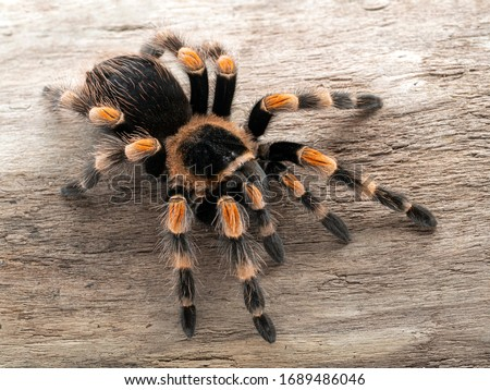 Colourful subadult female Mexican orangeknee tarantula (Brachypelma hamorii) on a sun-bleached log. 3/4 view. This species is endemic to Mexico