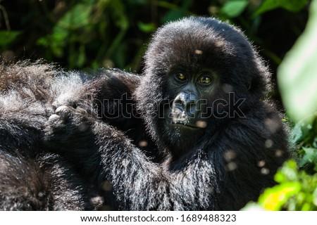 Adolescent mountain gorilla in the bush #1689488323