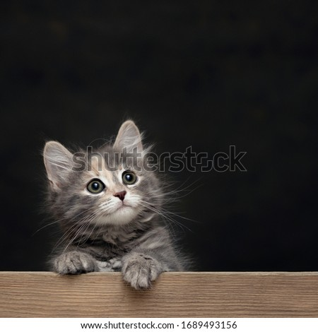 Beautiful gray female kitten rests its paws on a wooden board. Blank for advertisement or announcement with copy space, square image
