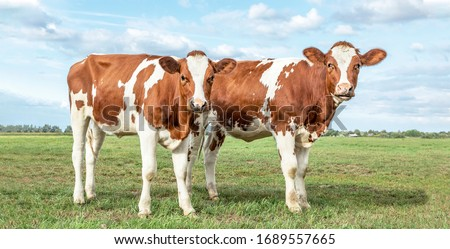 Two cute calves standing upright together in a green meadow under a cloudy blue sky and a faraway straight horizon. #1689557665