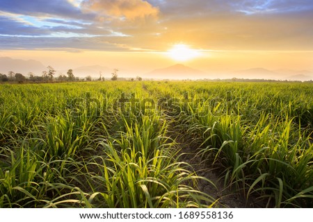 Sugarcane field at sunset. sugarcane is a grass of poaceae family. it taste sweet and good for health. Well known as tebu in malaysia #1689558136
