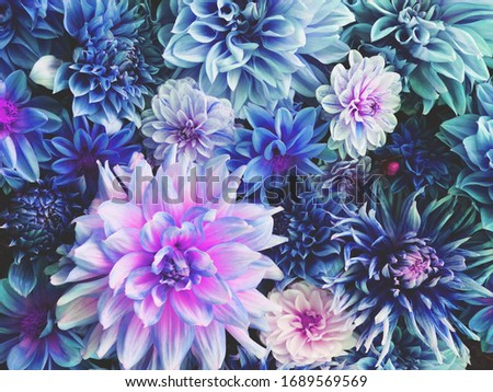Beautiful fresh colorful blue, white and purple dahlia flowers in full bloom. Spring blossoms. Flowery summer texture for background. Saturated blue color. #1689569569