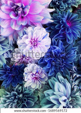 Beautiful fresh colorful blue, white and purple dahlia flowers in full bloom. Spring blossoms. Flowery summer texture for background. Saturated blue color. #1689569572