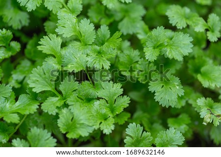 Coriander leaves in vegetables garden for health, food and agriculture concept design. Organic coriander leaves background. #1689632146