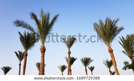 Silhouettes of palm trees against the sky during sunset. Coconut trees, tropical tree of Egypt, summer tree. a family of monocotyledonous, woody plants with unbranched trunks. #1689729388