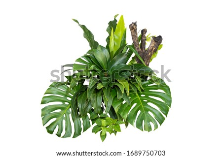 Green leaves of tropical plants bush (Monstera, palm, rubber plant, pine, bird's nest fern) floral arrangement indoors garden nature backdrop isolated on white background thailand, clipping path.  #1689750703