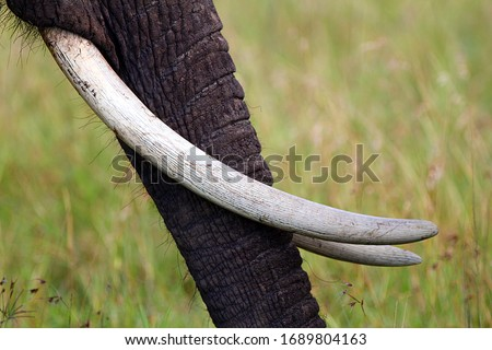 Close-up of elephant's trunk with long tusks with yellow-green background Royalty-Free Stock Photo #1689804163