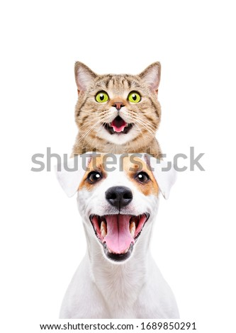 Portrait of funny cat Scottish Straight on the head of a Jack Russell Terrier isolated on white background #1689850291