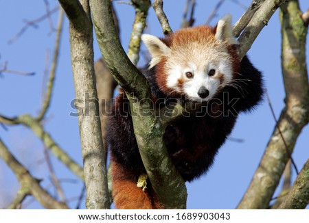 Munich, GER, 28. Oct. 2005 - Red Panda (lat. Ailurus fulgens), picture was taken in zoo Hellabrunn in Munich.