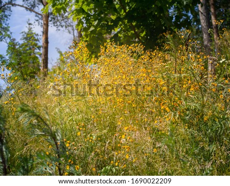 Hieracium sect. Umbellata, wild yellow flower from a family of Asteraceae, bloom on a dry sandy hillside in Finland #1690022209