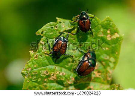 Japanese scarab beetles are invasive to North America and cause destruction to native plants. Royalty-Free Stock Photo #1690024228