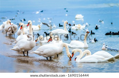White swan flock on shore. Swans in water. White swans Royalty-Free Stock Photo #1690156444