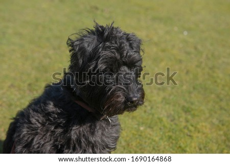 Portrait of a Black Schnoodle Dog (Cross Between a Miniature Poodle and a Miniature Schnauzer) with a Green Grass Background in Rural Devon, England, UK #1690164868