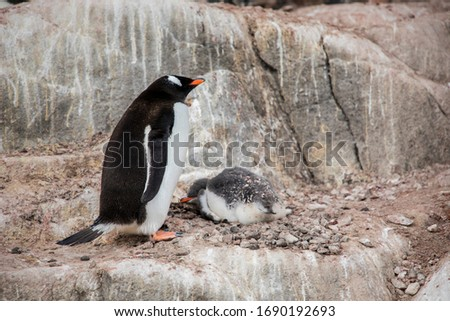 this is a picture of a gentoo penguin took with his baby penguin