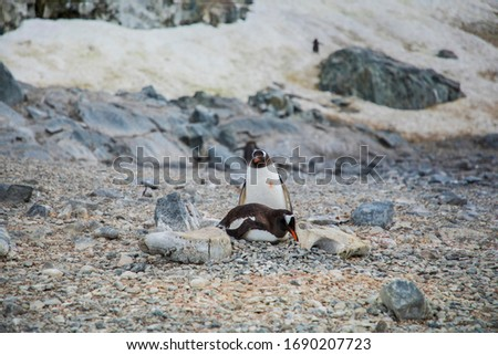 this is the picture of a gentoo penguin companion