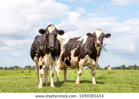 Two black and white cows, frisian holstein, a mill in the background, standing in a pasture under a blue sky and a straight horizon. #1690381654