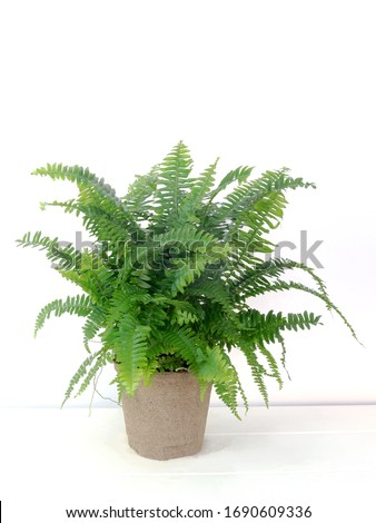 Chester Fern on a white backdrop hybrid of Boston Fern live indoor houseplant Royalty-Free Stock Photo #1690609336