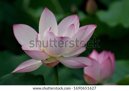 Weekend stroll honghu park rain reward lotus #1690651627
