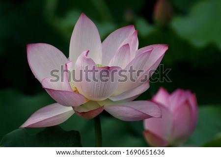 Weekend stroll honghu park rain reward lotus #1690651636