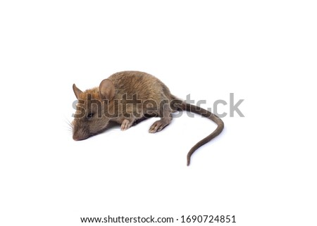 Close-up, Rat on white background. #1690724851