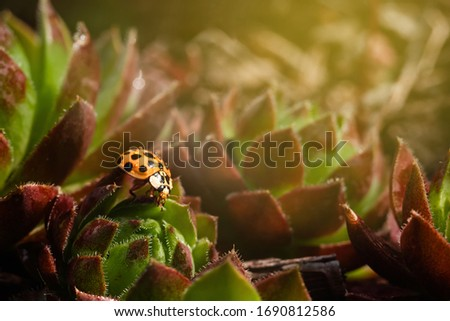 Yellow ladybug on a green and red spiky plant Saxifraga. Little ladybirds are covered with dew drops. Sunny summer morning. Cute and beautiful macro for wallpaper or photo picture.