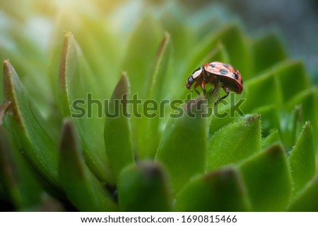 Red ladybug on a green spiky plant Saxifraga. Little ladybirds are covered with dew drops. Sunny summer morning. Cute and beautiful macro for wallpaper or photo picture.