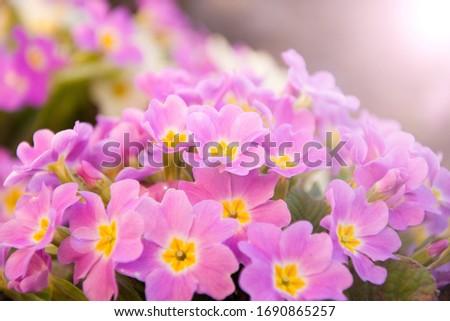 Perennial primrose or primula in the spring garden. Spring primroses flowers, primula polyanthus. Purple primroses in spring woods. Primroses in spring. The beautiful colors of primrose flowers  #1690865257