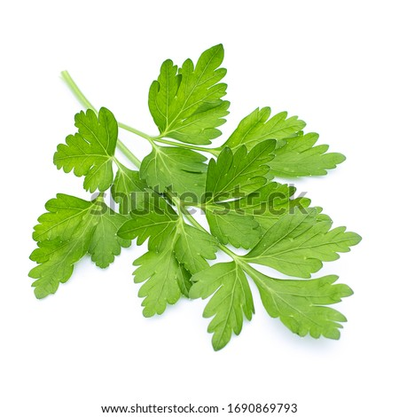green coriander leaves on a white background #1690869793