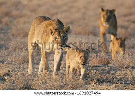 Small lion cub with adult female lion iholding it by the tail #1691027494